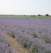 5 етерични масла в помощ на здравето и градината ни