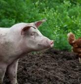Предприемат се мерки за недопускане на разпространение на Африканска чума по свинете и инфлуенца по птиците