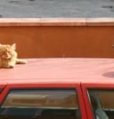 Kотка върху горещ ламаринен покрив