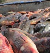 НАП проверява търговците на риба в Добрич