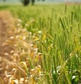 550 кг/дка е очакваният среден добив от пшеницата в добричко