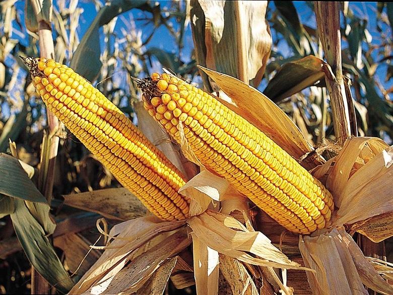 По-високи добиви от царевица и слънчоглед в Добричко