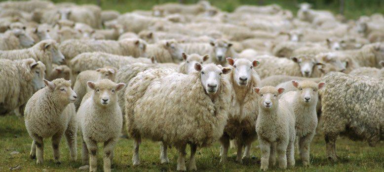 С над 50 % пада таксата за лабораторни изследвания за износ на дребни преживни животни