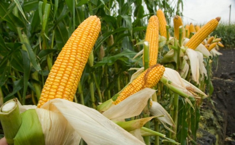 Потреблението на царевица в ЕС нараства до 74,9 млн. тона, производството спада