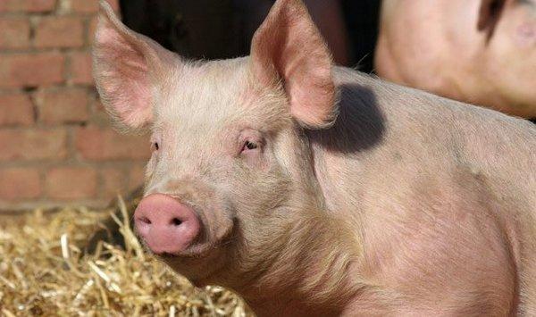 Отпускат 30 млн. лева за хуманно отношение към свинете