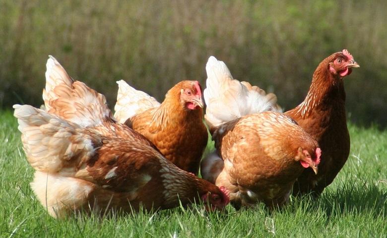 Огнище на птичи грип е установено във ферма за кокошки носачки в село Дончево