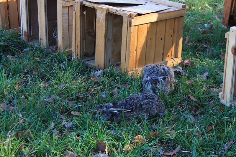 20 диви заека ще бъдат разселени в ДЛС-Тервел
