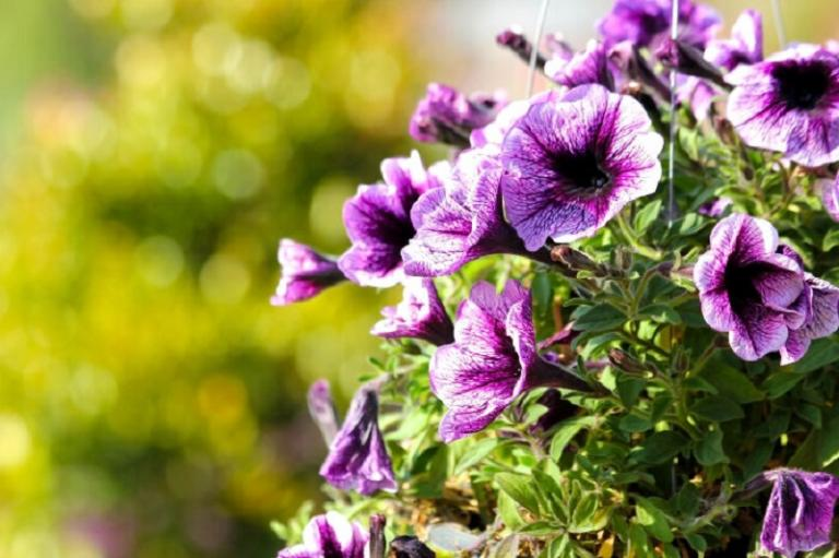 Пет от най-добрите цветя за отглеждане на балкона