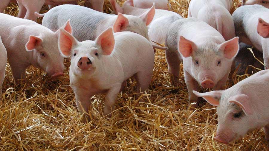 """Да бъде забранено отглеждането на прасета в """"задния двор"""" настояват индустриални свиневъди"""