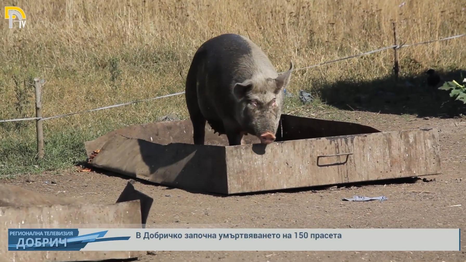 В Добричко започна умъртвяването на 150 прасета