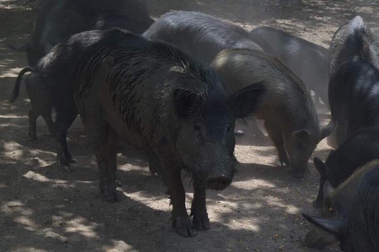 Блъснатото край Дуранкулак диво прасе е с отрицателна проба за Африканска чума по свинете