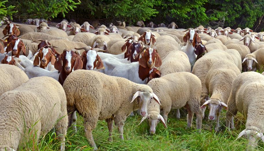 Откраднаха стадо овце и кози от пасище в с. Крупен