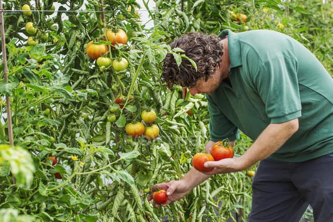 """Фонд """"Земеделие"""" отпуска 500 хил. лева за борба с вредителите по доматите"""