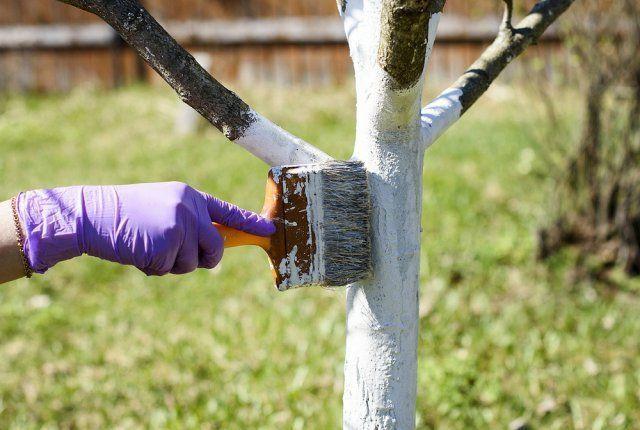 Есенна градина: Три грешки при белосването на дърветата