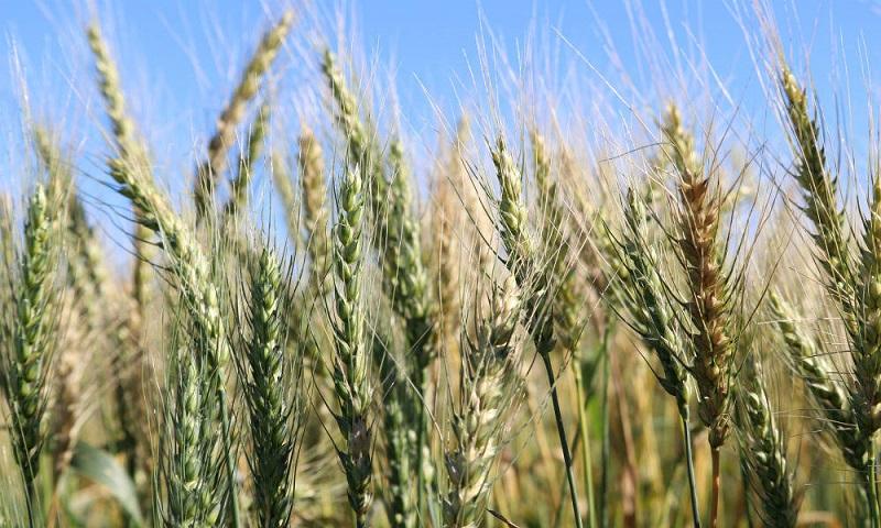 В Добрич, Бургас и Ямбол са засели най-много пшеница