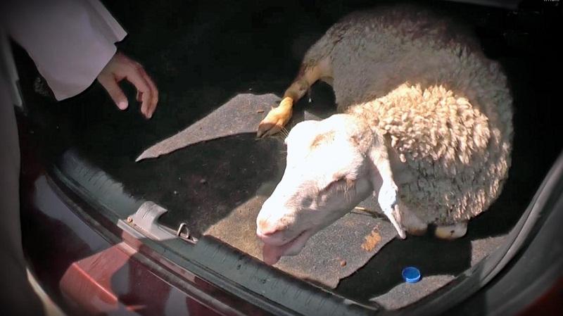 Откриха жива овца в багажника на неправоспособен шофьор