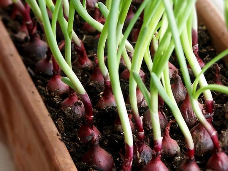 Топ 5 на домашните зелени растения: какво да сложите в сандъче на прозореца