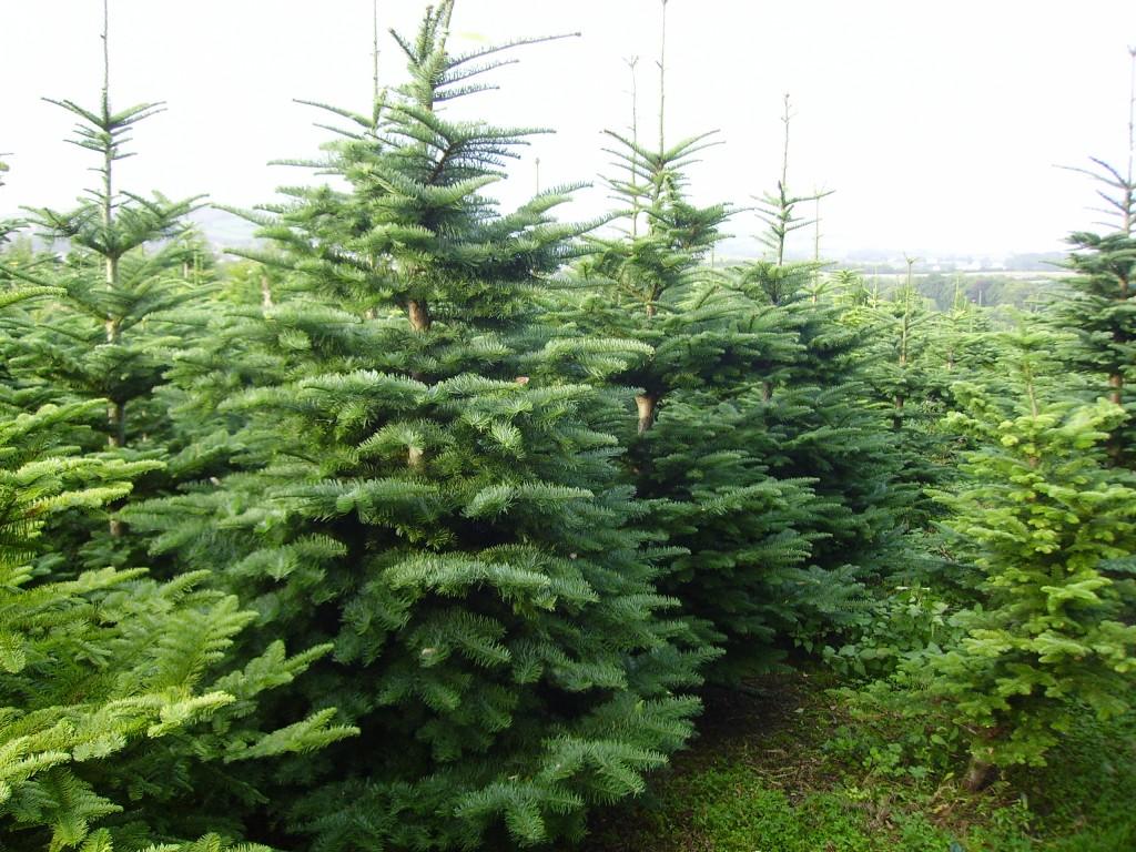 Община Добрич: Не изхвърляйте празничните дръвчета, можем да ги засадим в градина