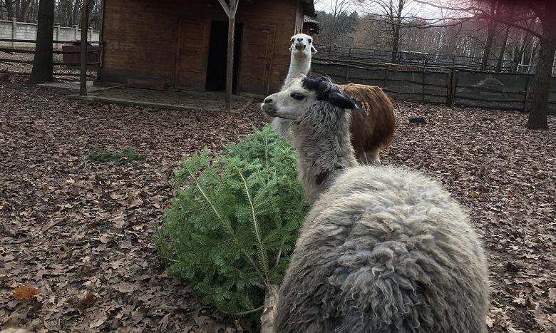 Животните в добричкия Зоопарк очакват да им оставите елхите си, за да ги похапнат