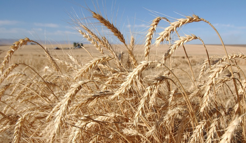 Опасност пшеницата да остане ниска заради сушата