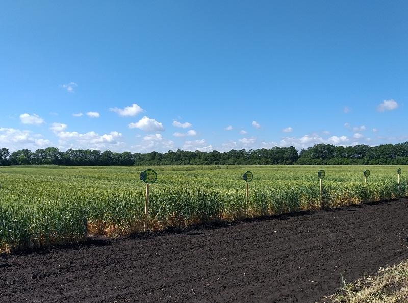 Три са новите сортове пшеница на ДЗИ, признати със заповед на Министерството на земеделието
