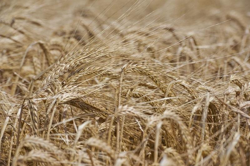 25% спад в добивите от пшеница тази година