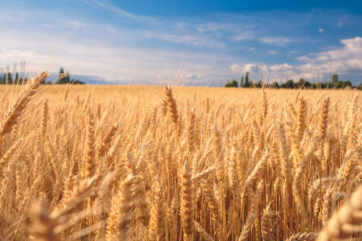 Систива® в пакет с Премис® – нов подход за обеззаразяване на семена пшеница!