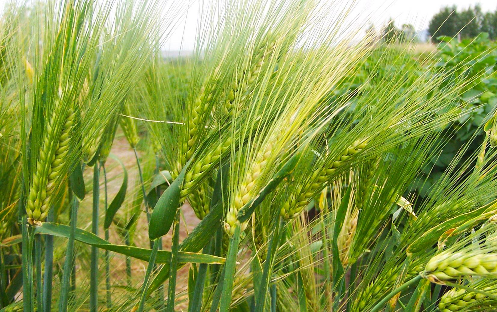 Систива® в пакет с Премис® – Нов подход за обеззаразяване на семена ечемик!