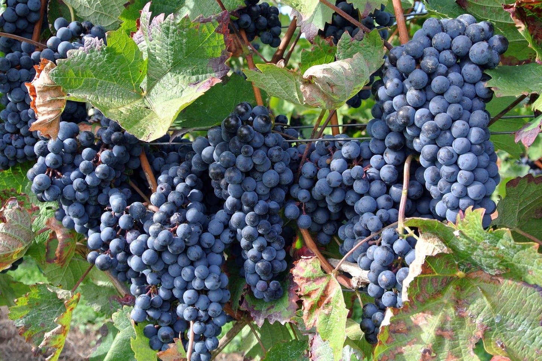 Тръгва втори прием по de minimis за плодове, зеленчуци, маслодайна роза и винени лозя