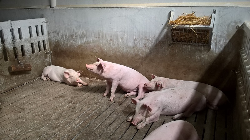 Всички индустриални свинекомплекси в България вече могат свободно да изнасят свинско месо за ЕС