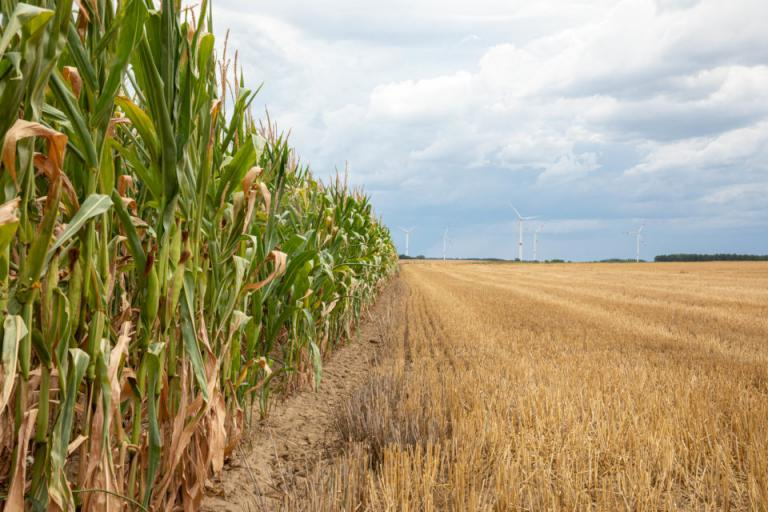 По-малко царевица и слънчоглед засяти тази пролет