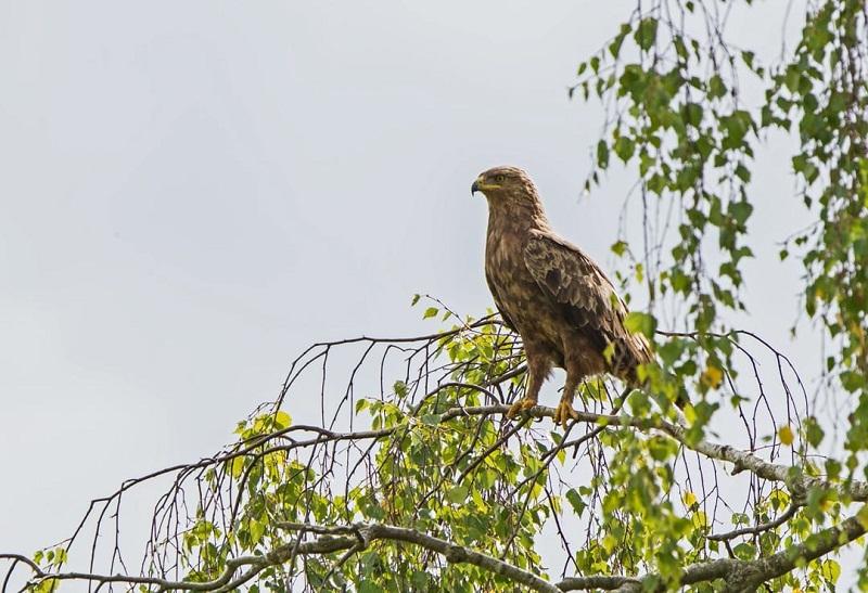 Българското дружество за защита на птиците маркира със сателитен предавател малък креслив орел край с. Александрия